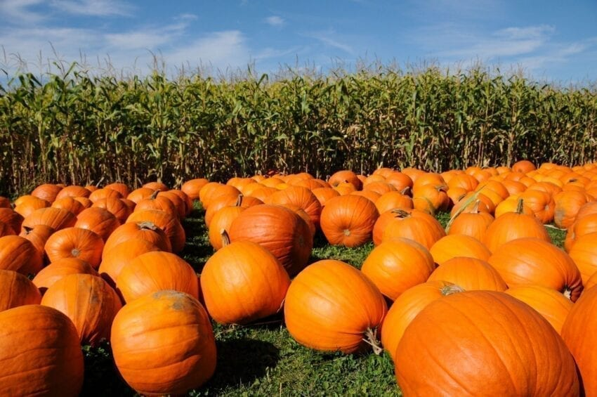 Twin Cities Pumpkin Patches